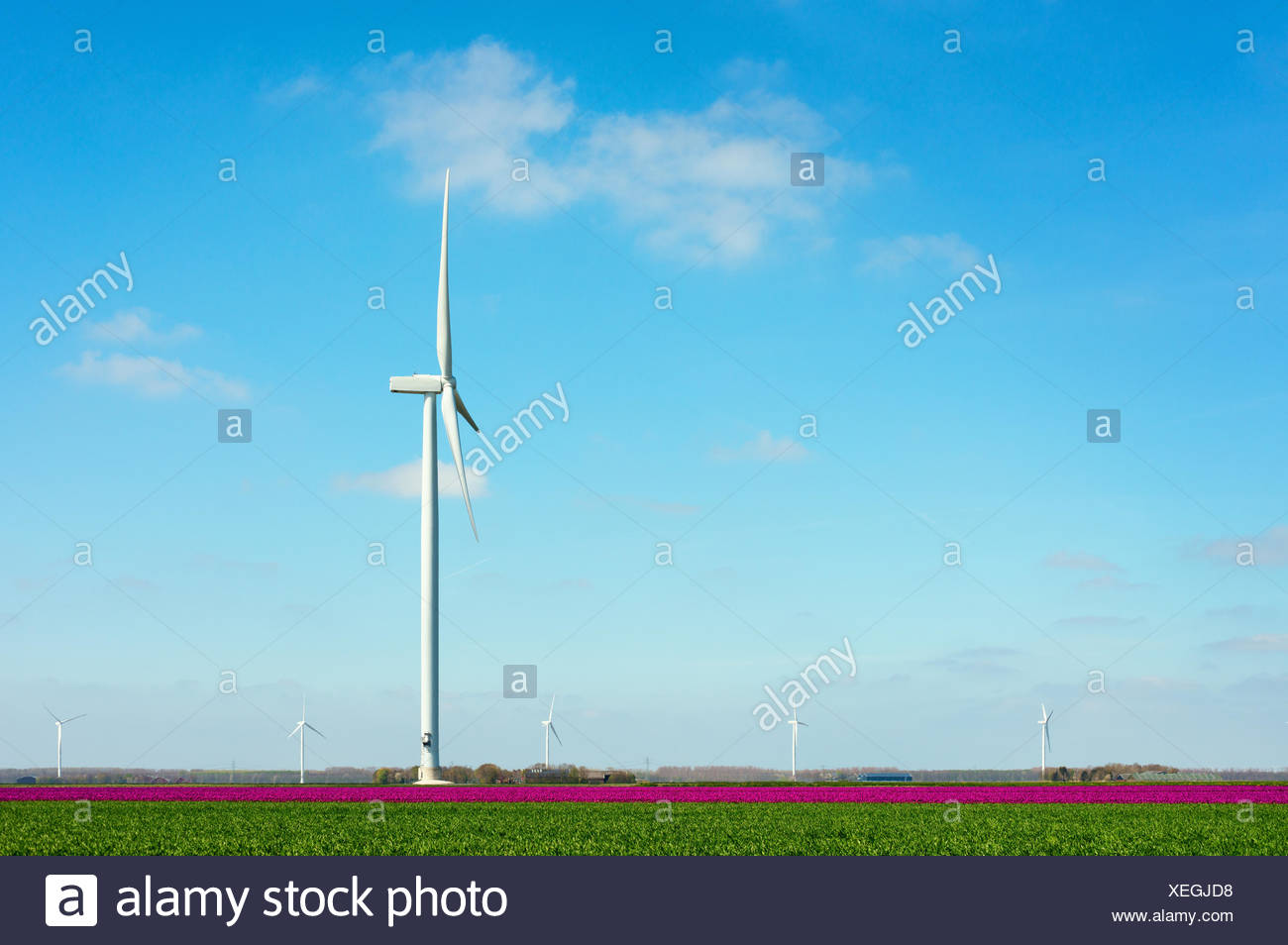 Field with magenta flower blooms and wind turbine, Zeewolde, Flevoland, Netherlands Stock Photo