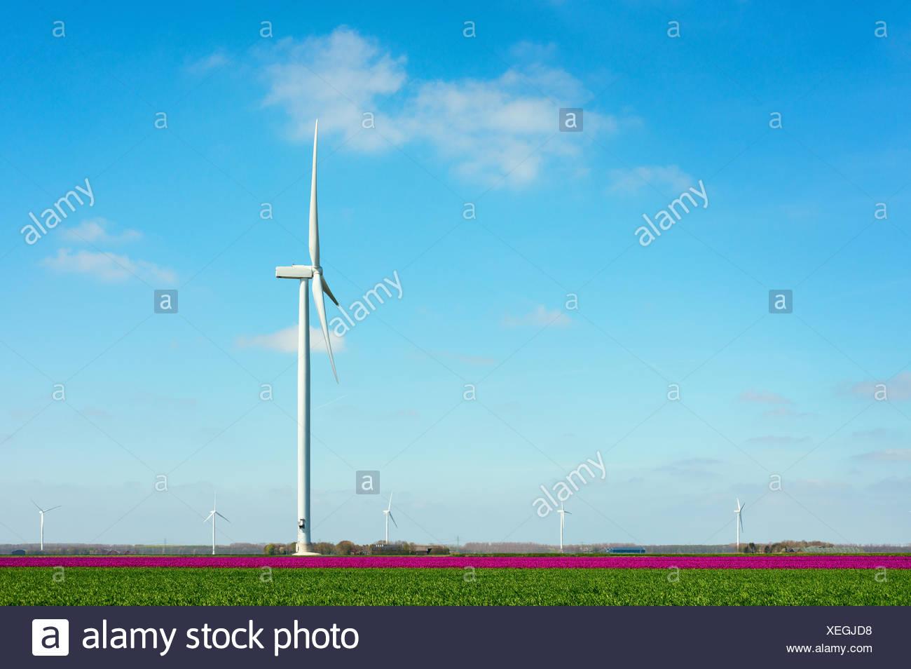 Field with magenta flower blooms and wind turbine, Zeewolde, Flevoland, Netherlands - Stock Image