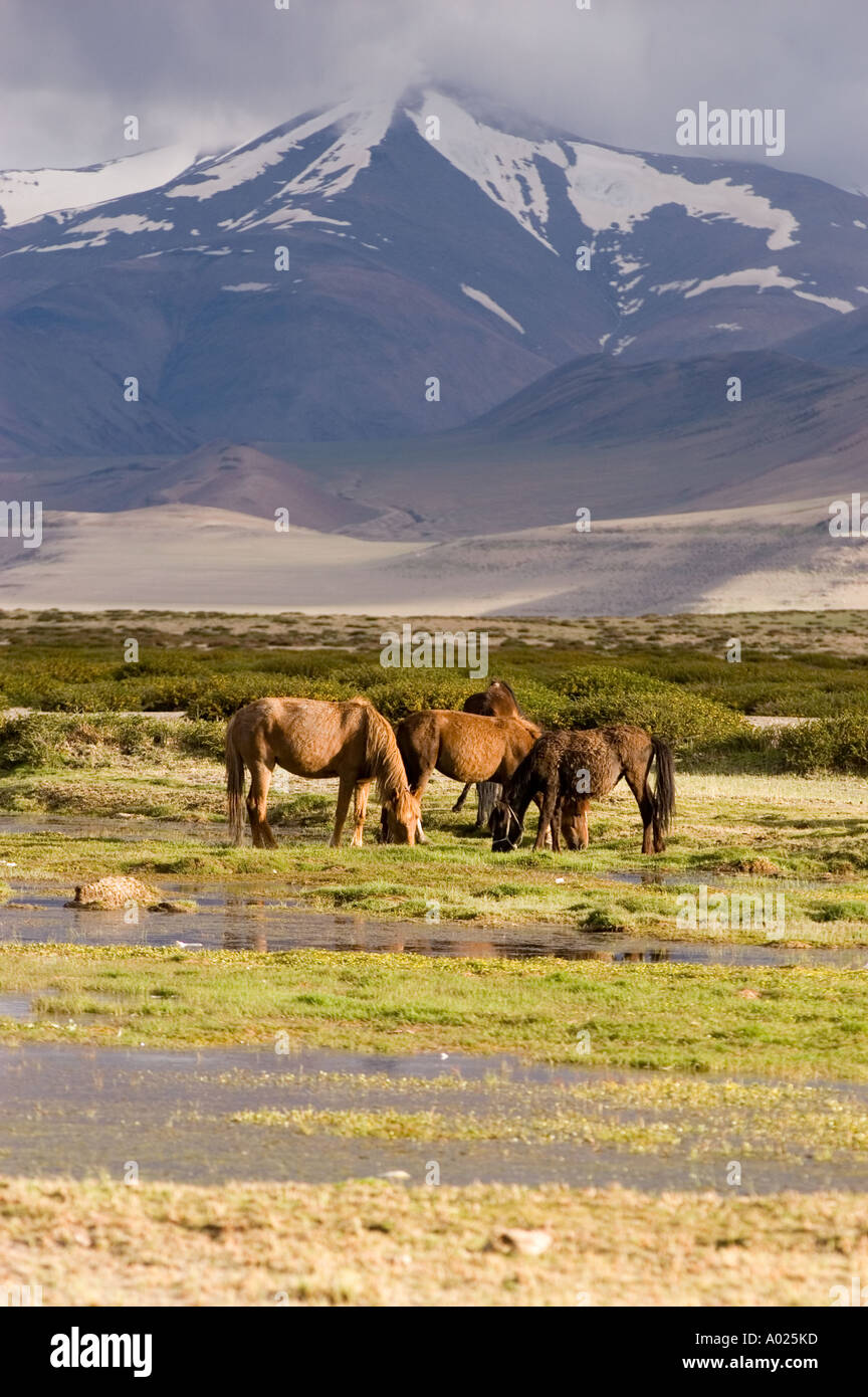 Nomad S Horses On Pasture In Rupshu Snow Mountain Area