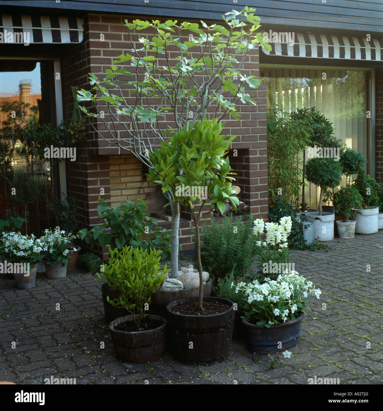 Great Small Trees And Shrubs In Groups Of Old Barrels And Pots On Paved Patio Of  Small Modern Townhouse