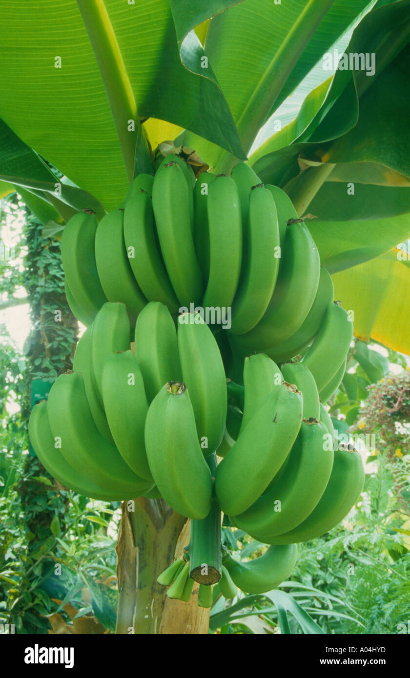 unripe green banana hanging from tree plant plantation ...