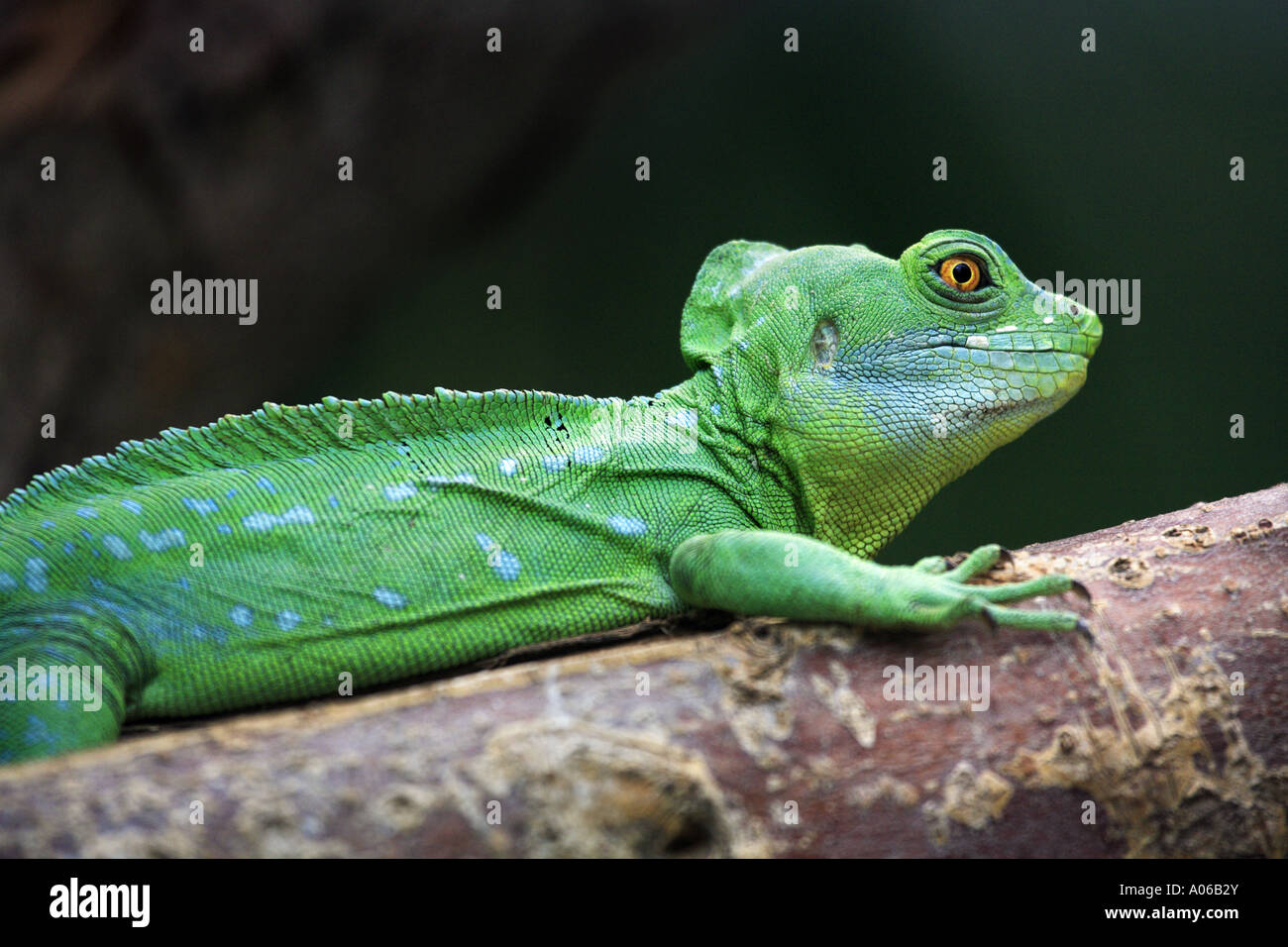 green basilisk lizard Stock Photo, Royalty Free Image ...