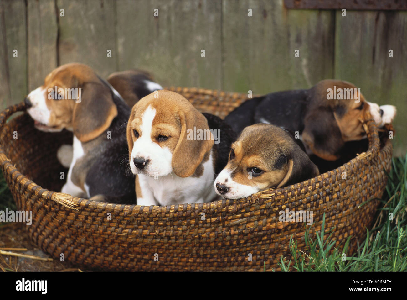 Litter of five pedigree beagle puppies play in a basket stock litter of five pedigree beagle puppies play in a basket voltagebd Choice Image