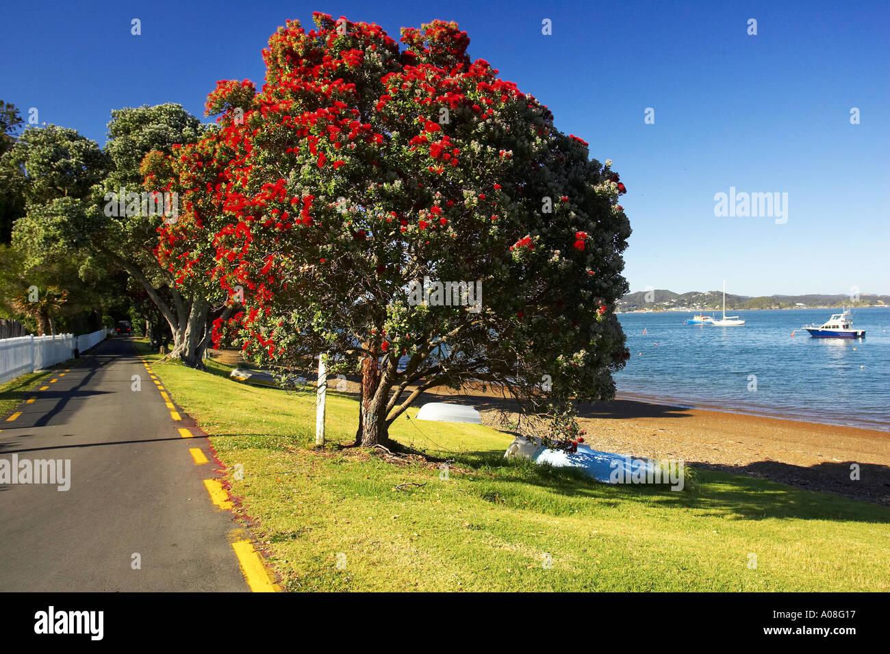Pohutukawa Tree Russell Bay Of Islands Northland New