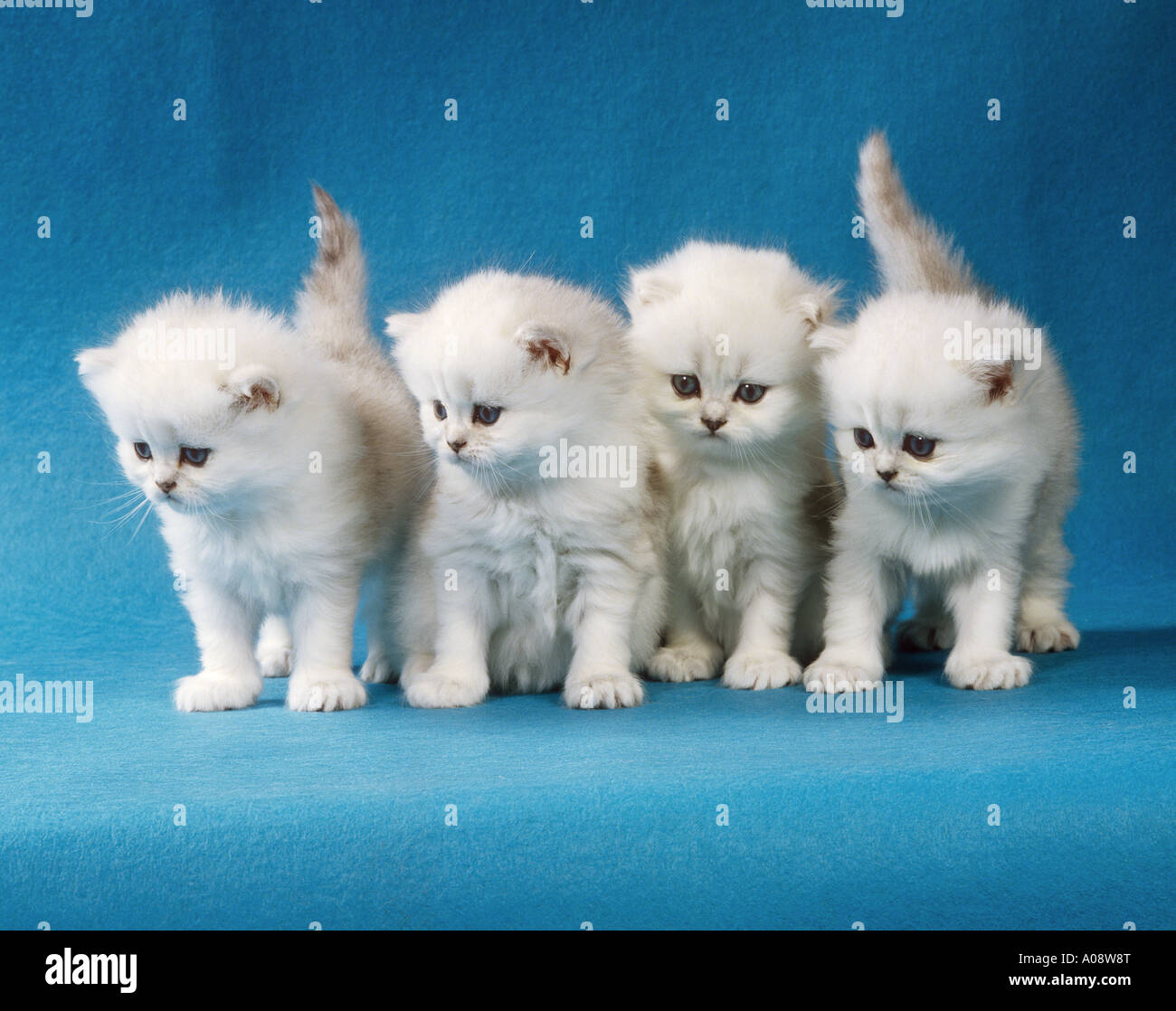 4 young Persian kittens silver shaded cut out Stock