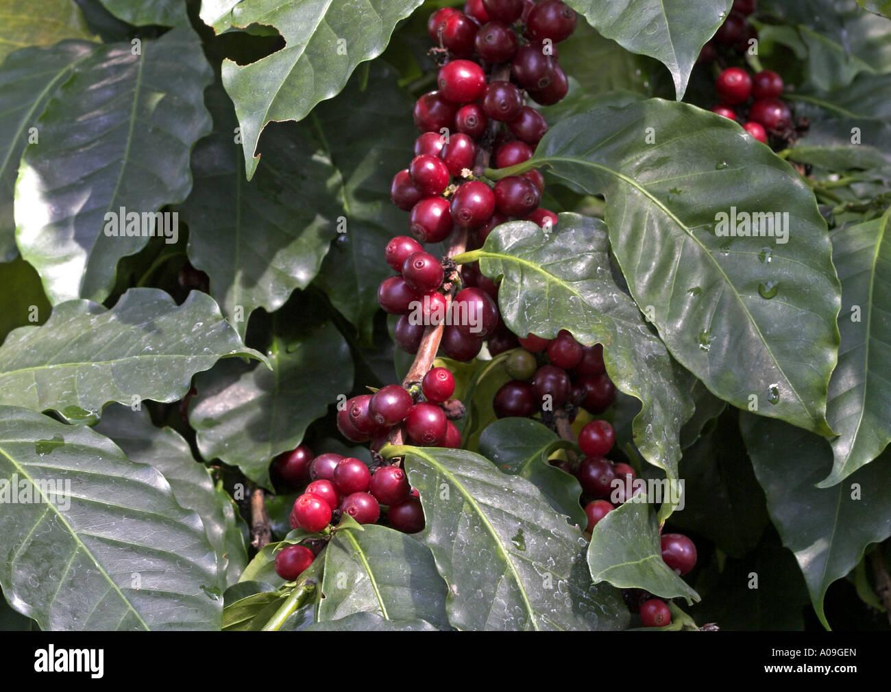 Arabian coffee coffea arabica fruits stock photo for Coffea arabica