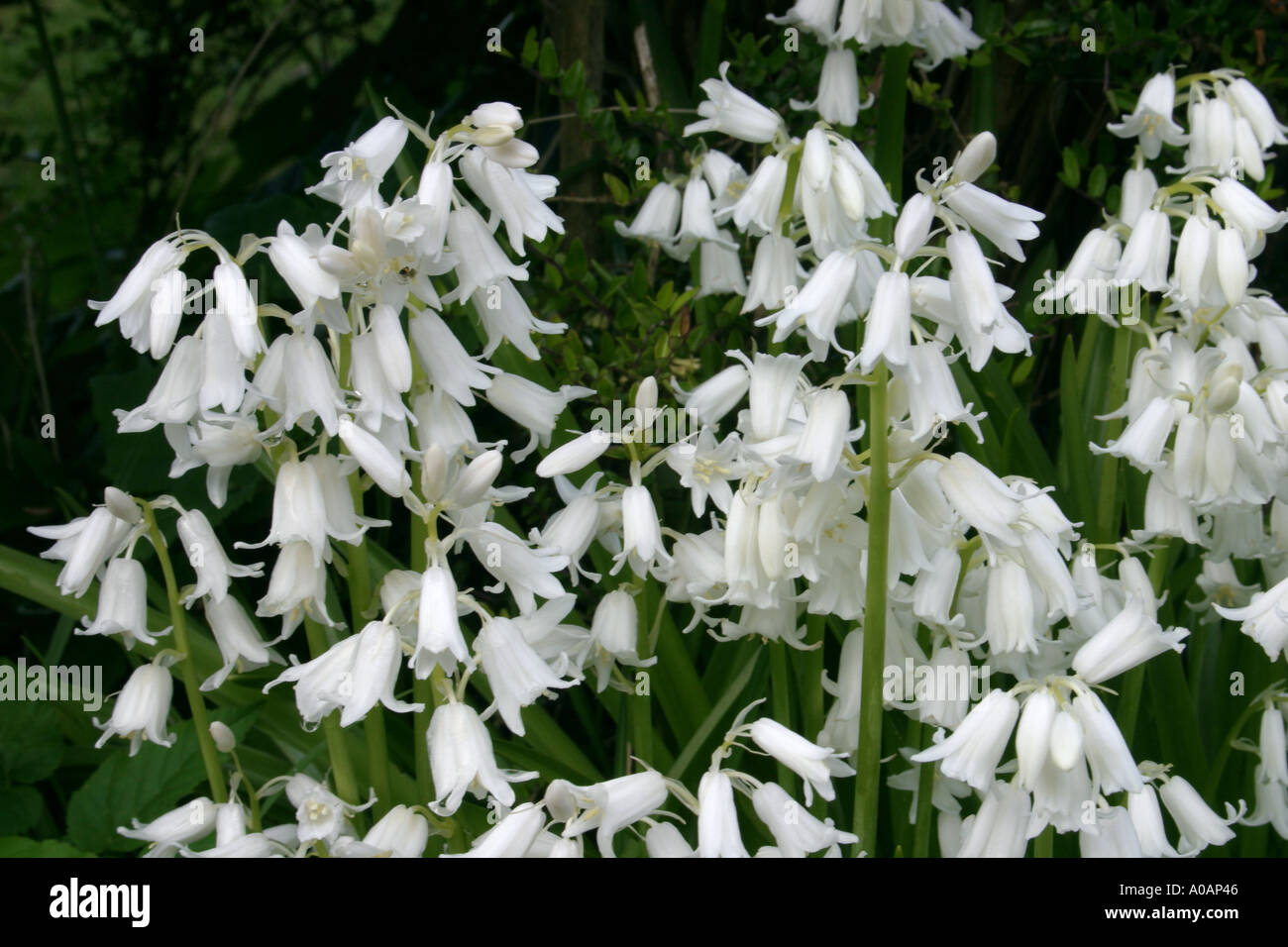 White Bell Flowers Pictures Blue Bell Flowers With Green Leaves On