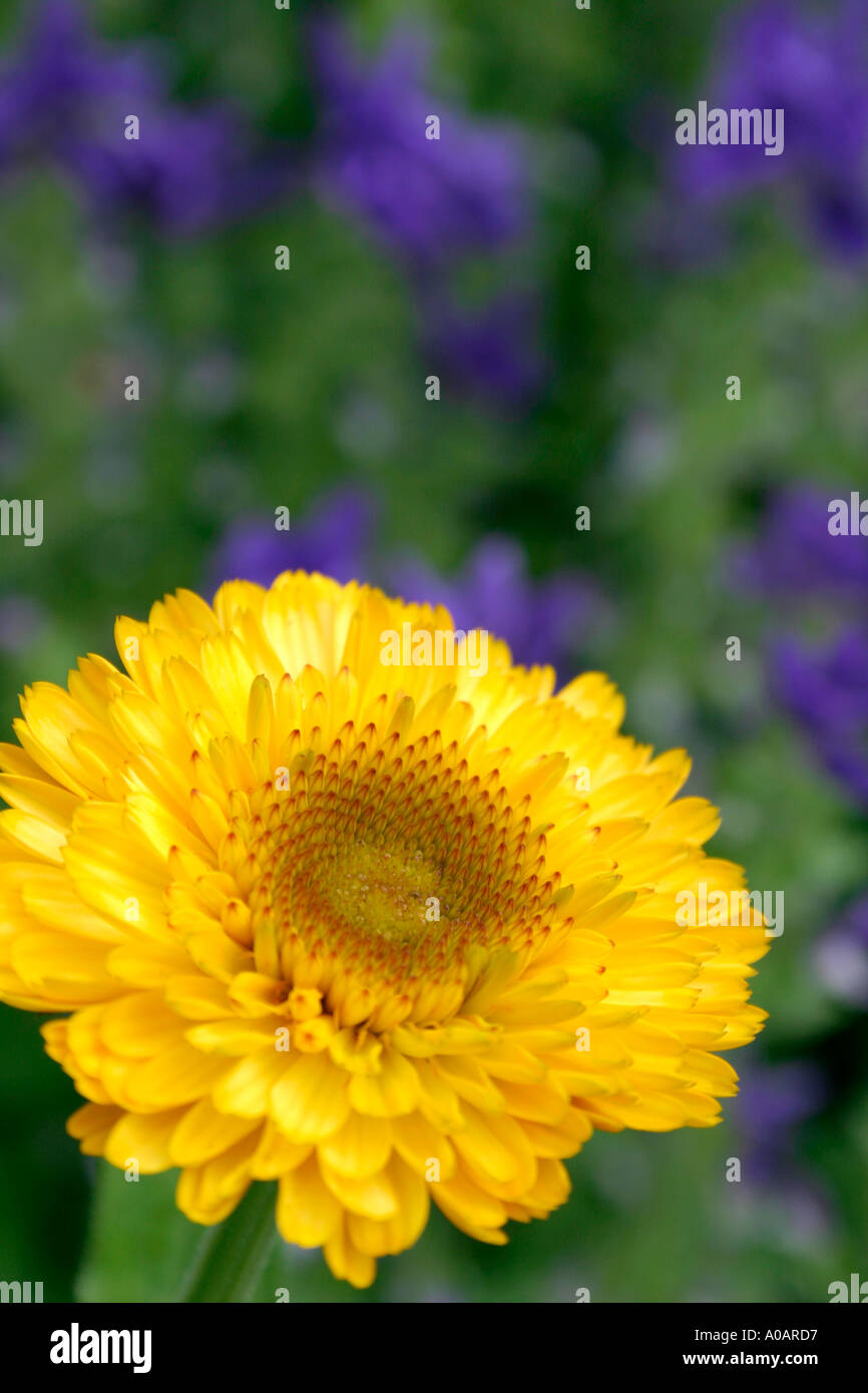 Garden flowers names - Stock Photo Yellow Flower Of Summer Flowering Annual Garden Plant Pot Marigold Botanical Name Calendula Officinalis