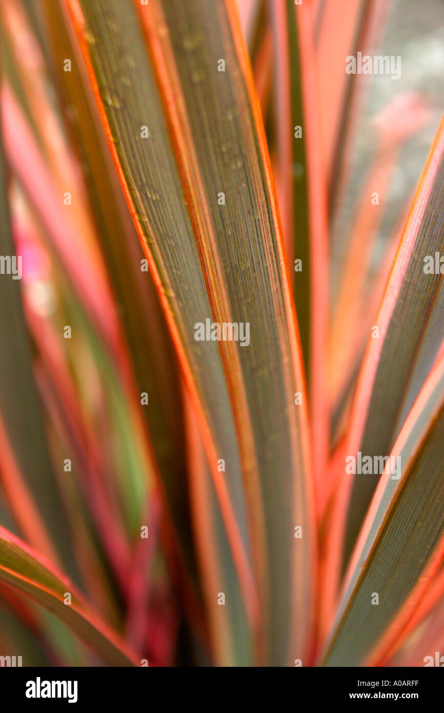 red and pink variegated leaves of garden plant phormium. Black Bedroom Furniture Sets. Home Design Ideas