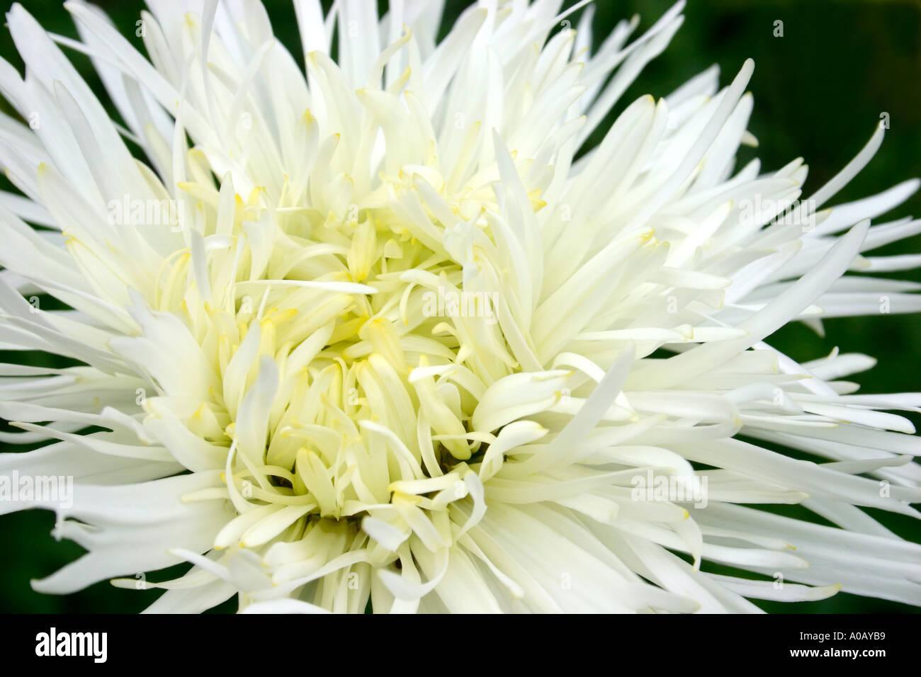 White flower of garden plant Leucanthemum x superbum Shaggy Common