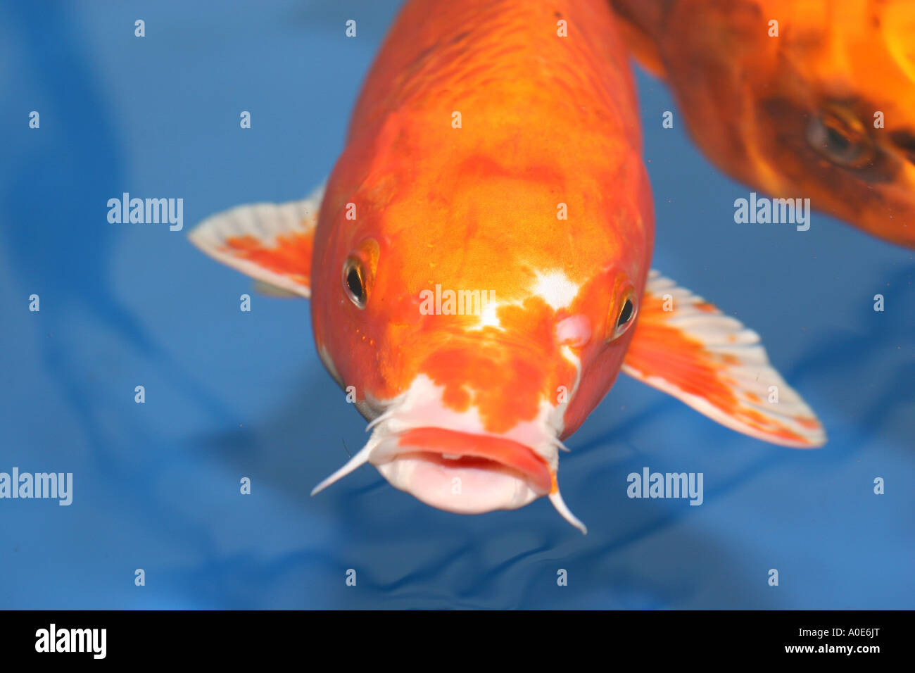 real koi fish head