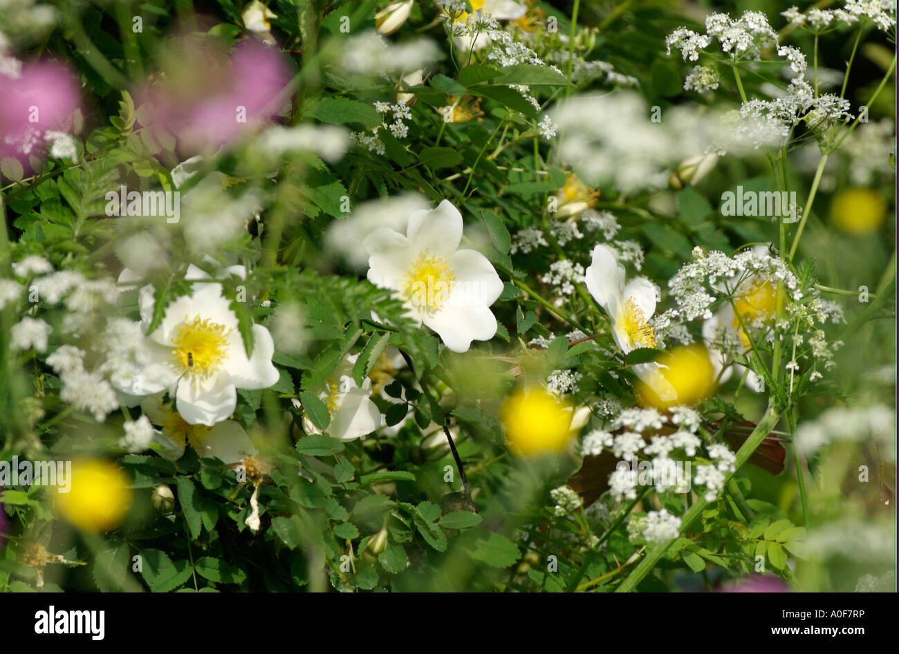 mon British wild flowers of the hedgerows Spring flowers cow Stock