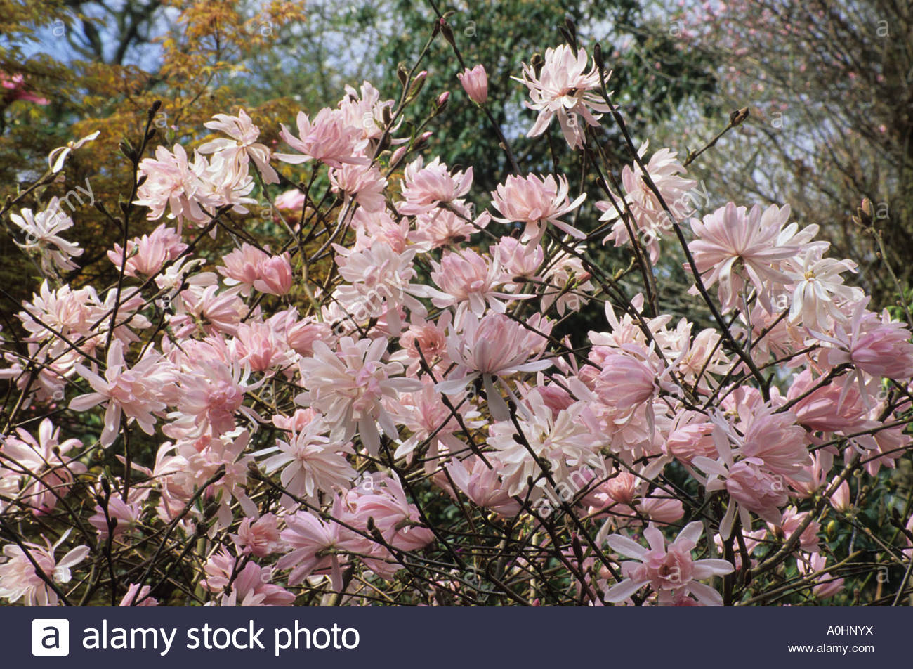 rhs wilsey surrey magnolia stellata rosea stock photo. Black Bedroom Furniture Sets. Home Design Ideas