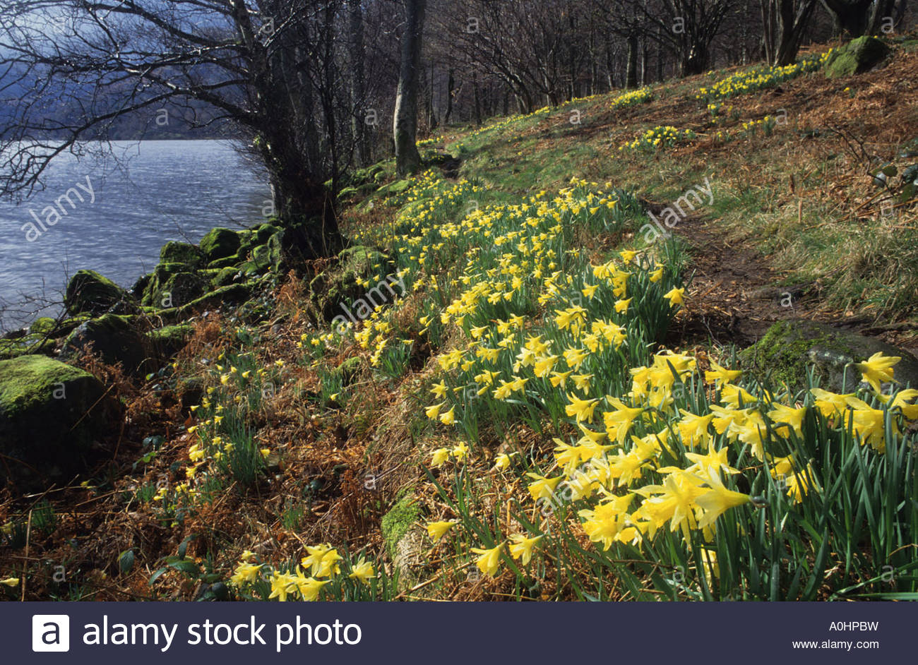ullswater lake district cumbria wordsworth s daffodils narcissus stock photo ullswater lake district cumbria wordsworth s daffodils narcissus pseudonarcissus