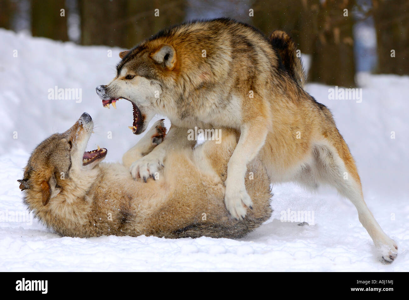Fighting wolves in winter (canis lupus occidentalis Stock ...