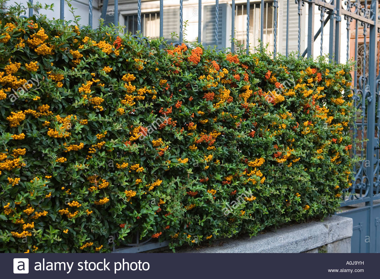 Pyracantha bush covered in berries stock photo royalty for Piracanta pianta