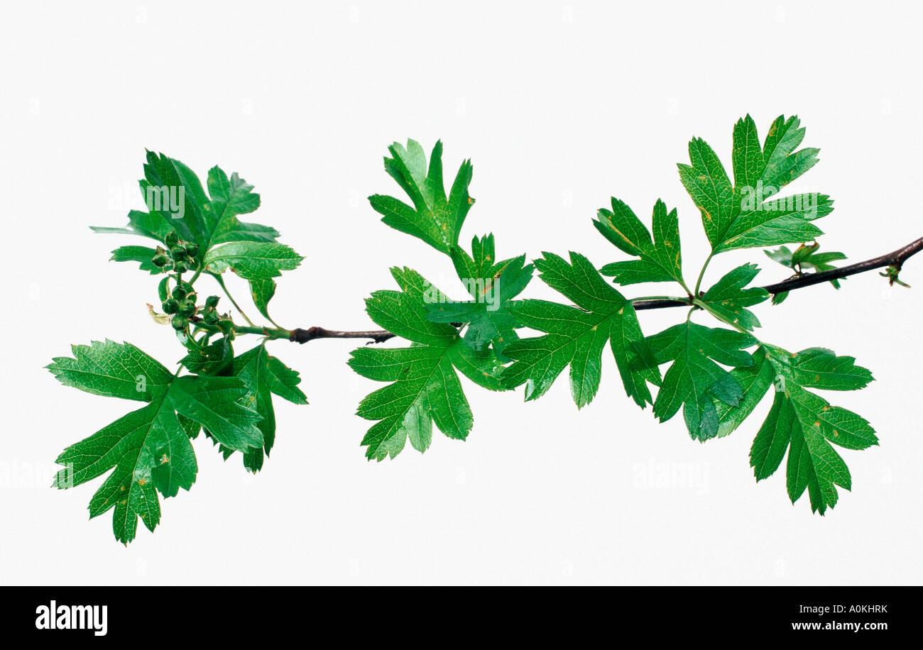 Hawthorn leaves Crataegus monogyna Stock Photo, Royalty ...