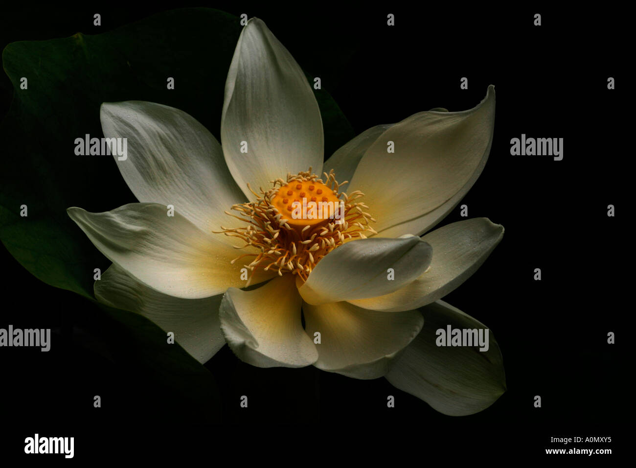 a perfect lotus flower in bloom dark and moody stock photo, Beautiful flower