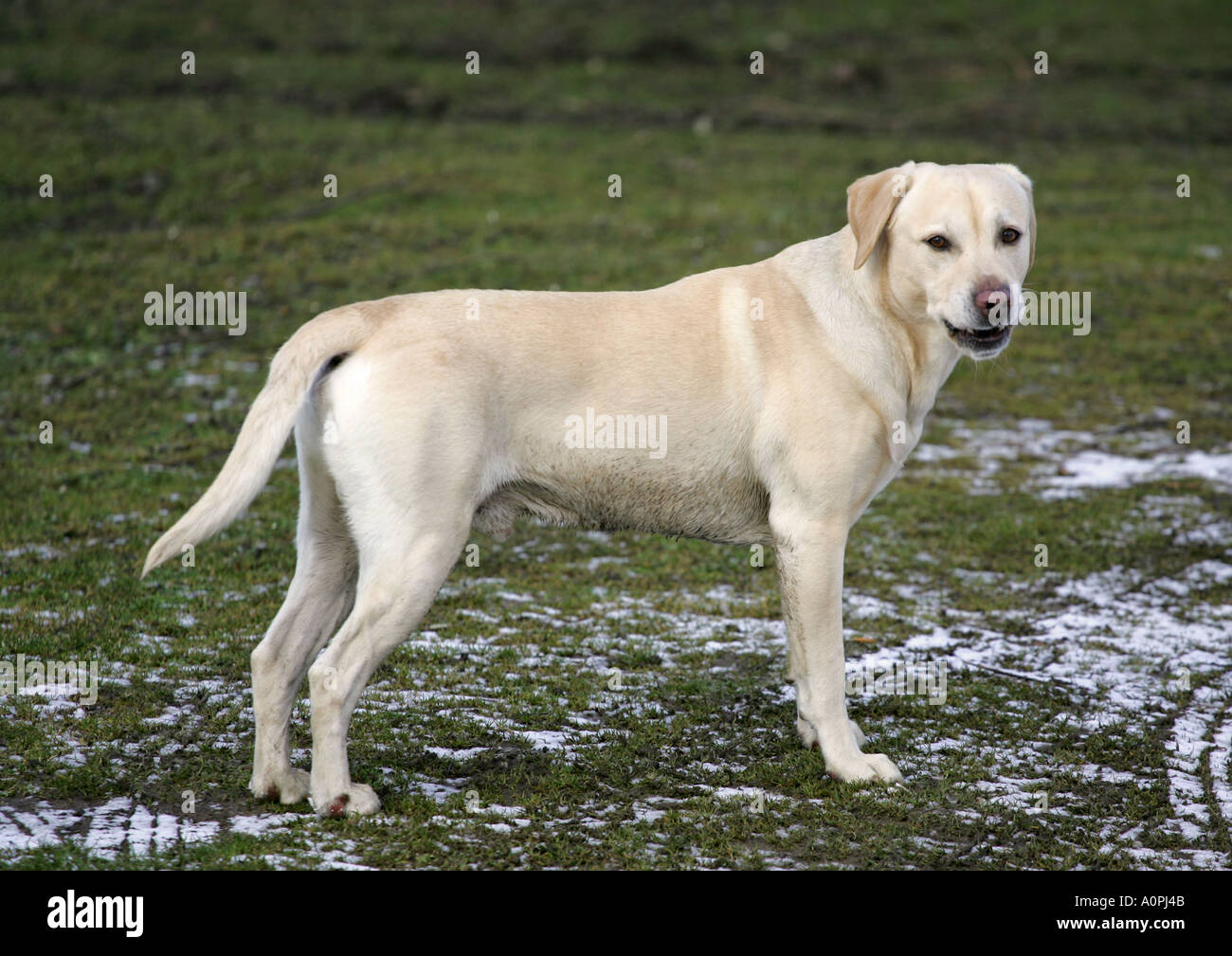 Adult golden labrador
