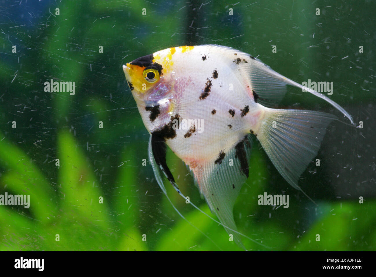 Black and yellow freshwater aquarium fish - Brightly Coloured Black And Yellow And White Tropical Angel Fish Swimming In A Glass Fish Tank