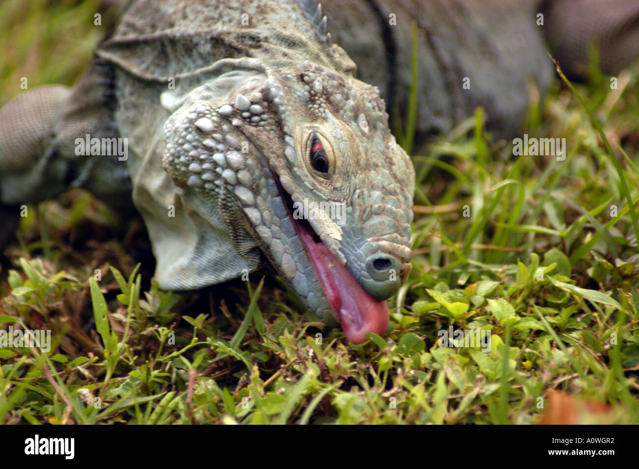 Caribbean Animals: Cayman Islands Grand Cayman Blue Iguana Caribbean Animals