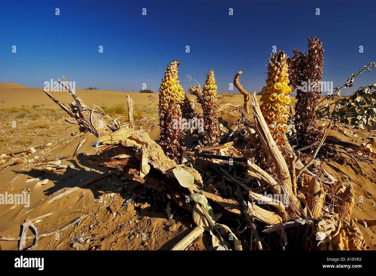 UGA75795 Desert Plants in Thar desert Sam Sand Dunes ...