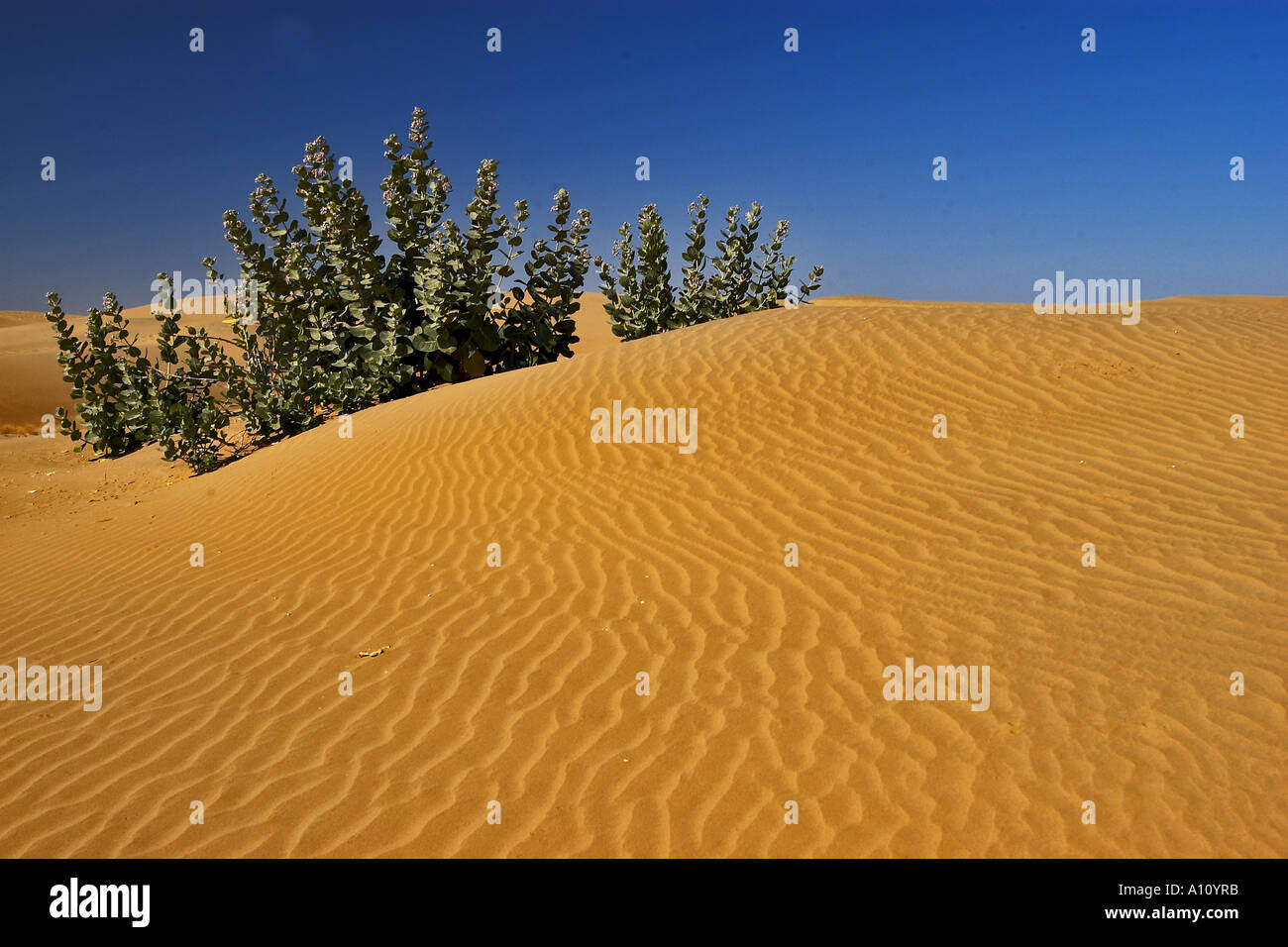 UGA75801 Thar Desert Plants in Sand Dunes Sam Sand Dunes ...