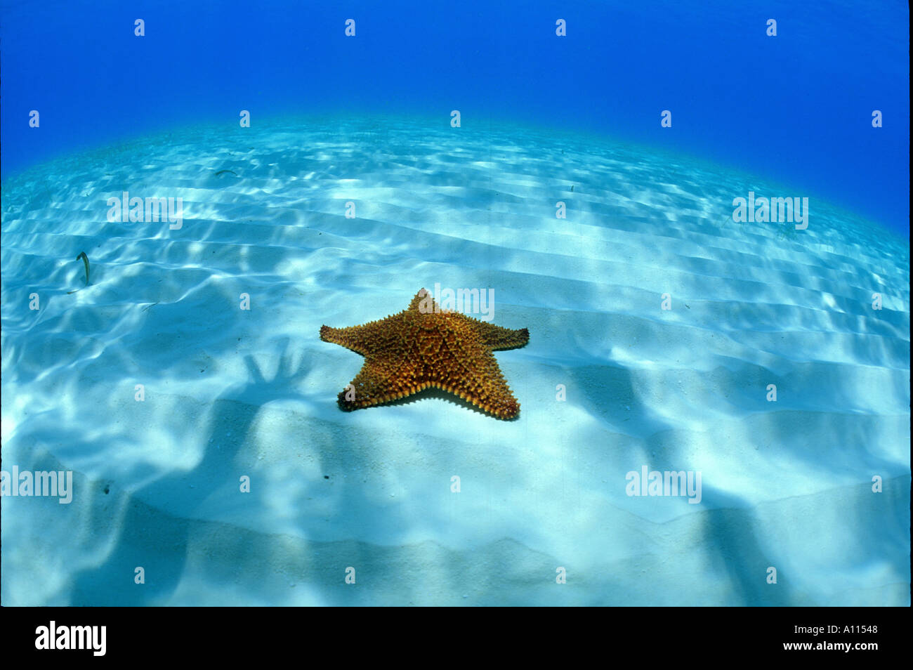 A CUSHION SEA STAR OR STARFISH IN SHALLOW OCEAN WATERS IN ...
