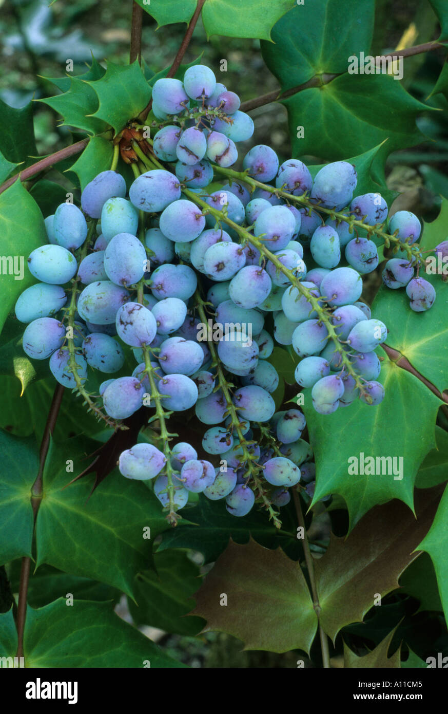 Mahonia bealei mahonia japonica bealei group stock photo for Mahonia japonica