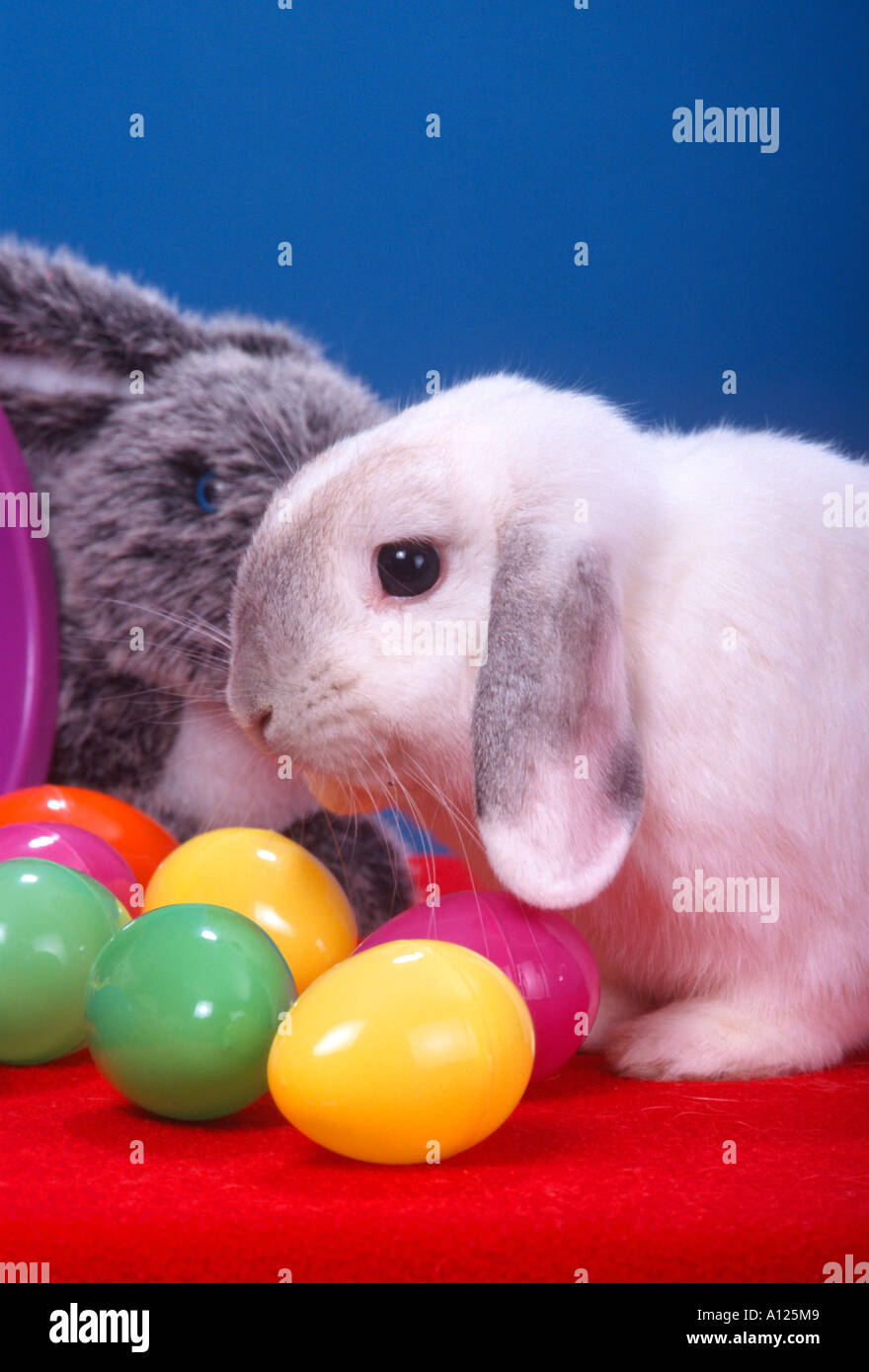 Holland Lop Bunny With Plastic Easter Eggs Blue Background PR 128b
