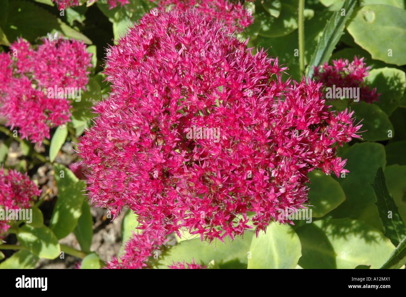 Sedum Spectabilis Stardust Late Summer Flowering Garden