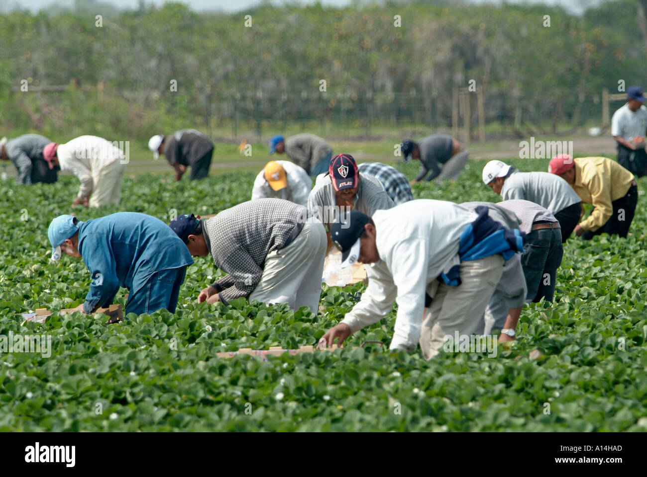 mexican migrant workers Migrant farm workers from mexico take a break while working at the grant family farms in wellington, colorado the farm was the largest organic vegetable farm outside of california greece .