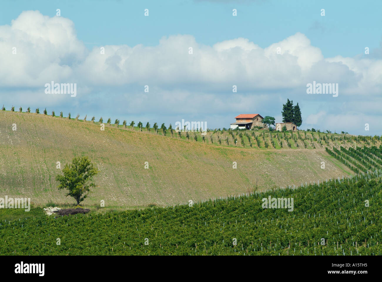 Rows of vines in chianti vineyard Central Tuscany Italy EU Europe ...