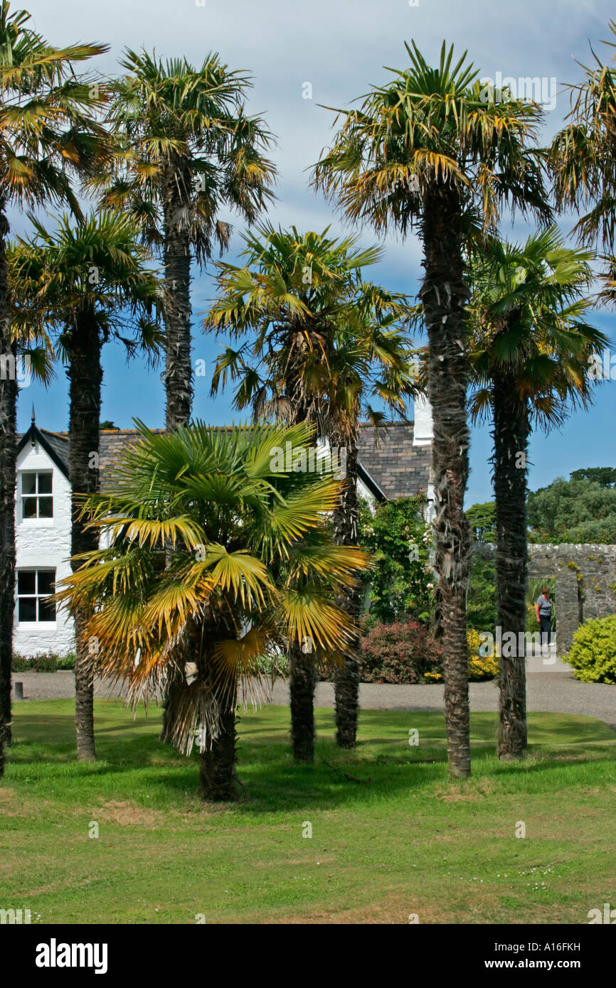 Trachycarpus fortunei or chusan palm trees at logan for Garden trees scotland
