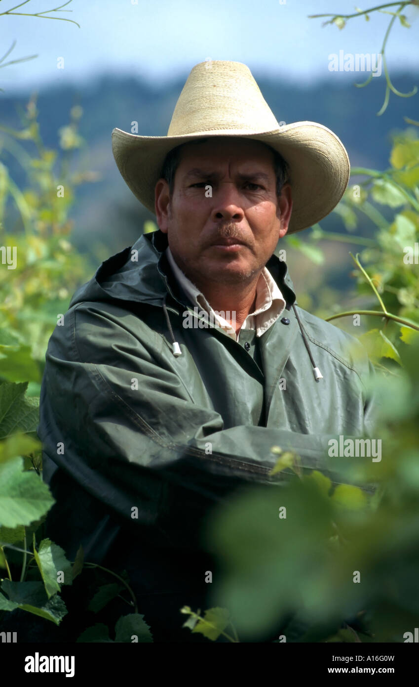 mexican farm worker in vineyard anderson valley ca usa stock image