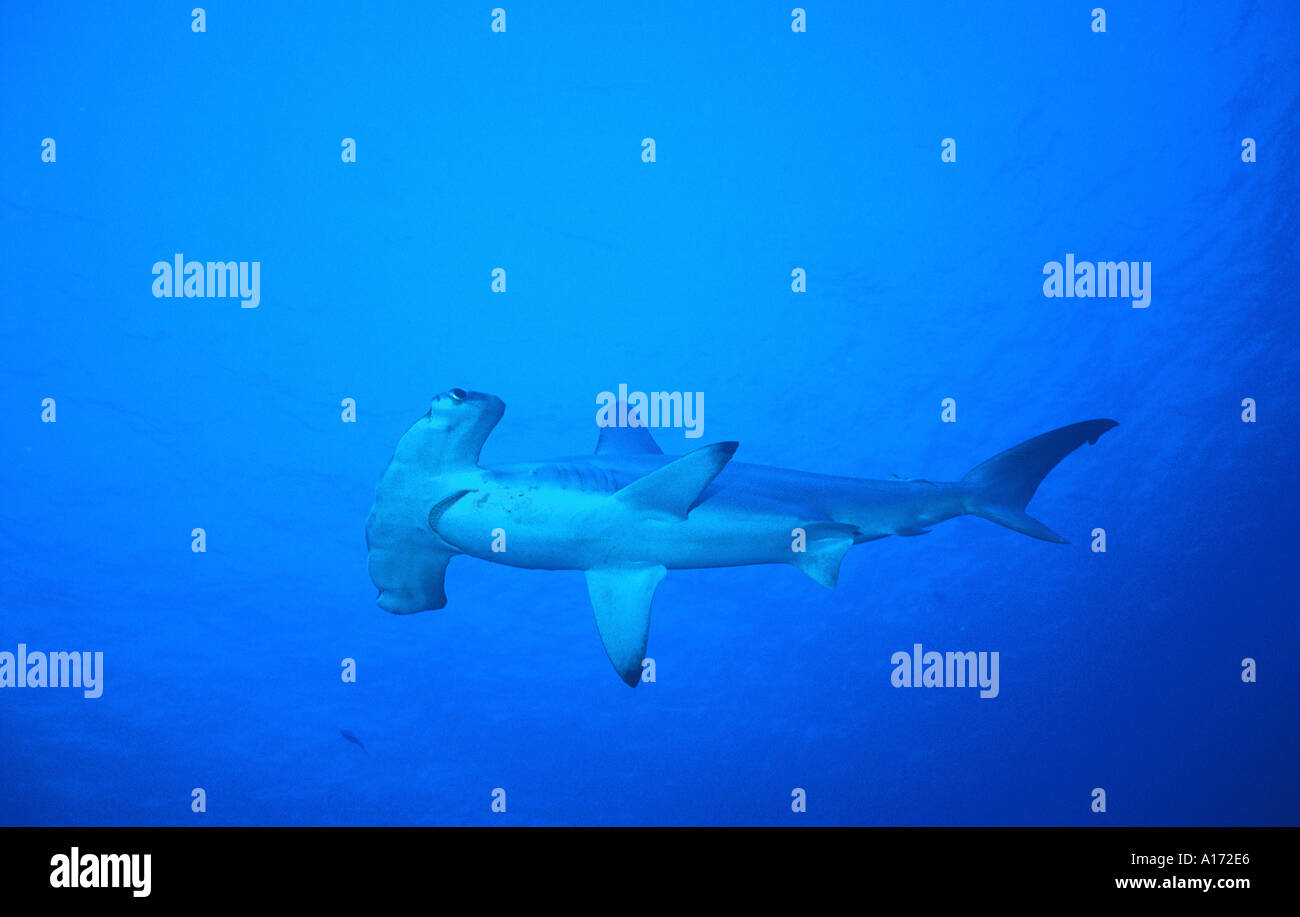 scalloped hammerhead shark sphyrna lewini elphinstone reef egypt