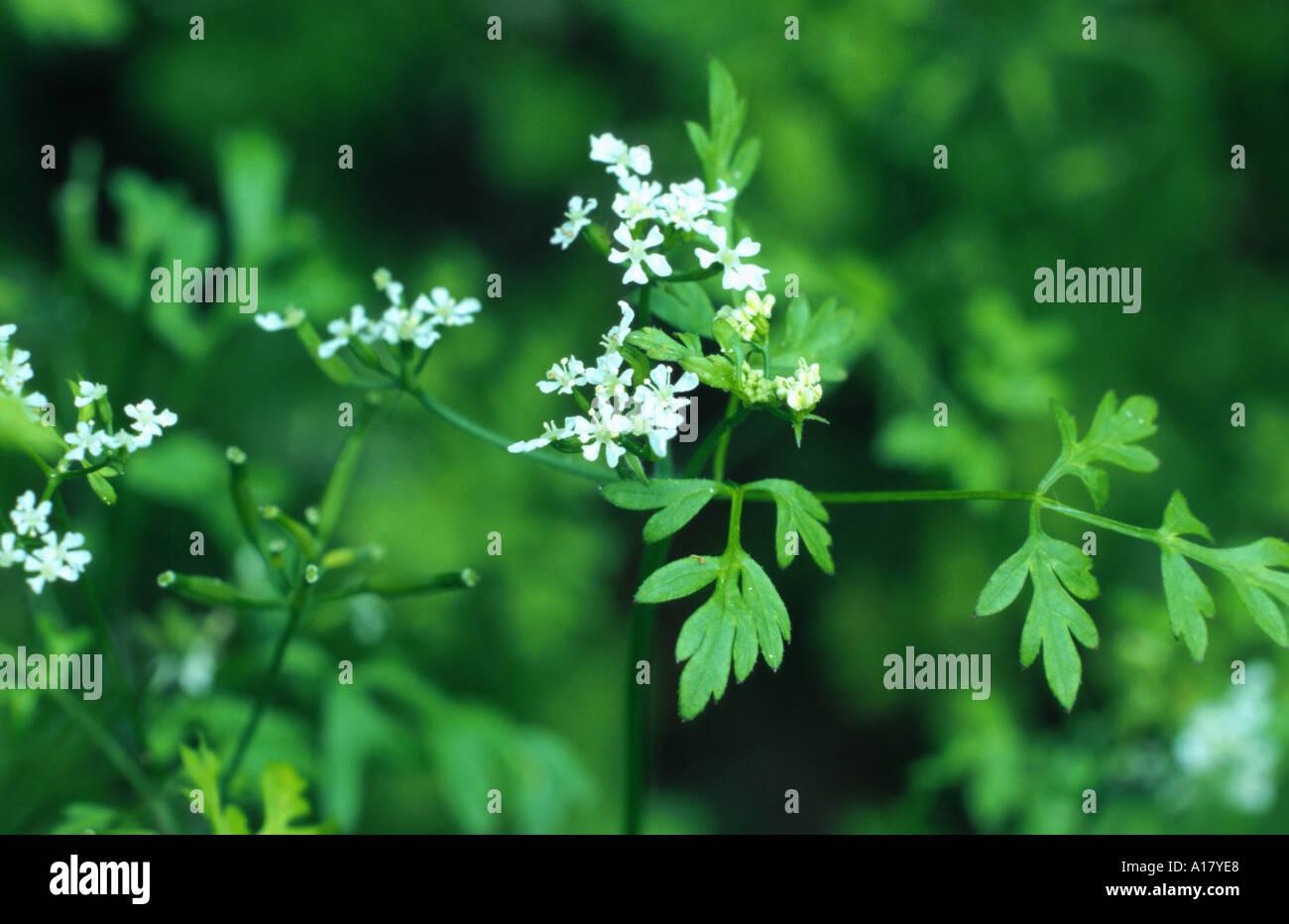 garden chervil common chervil Anthriscus cerefolium blooming