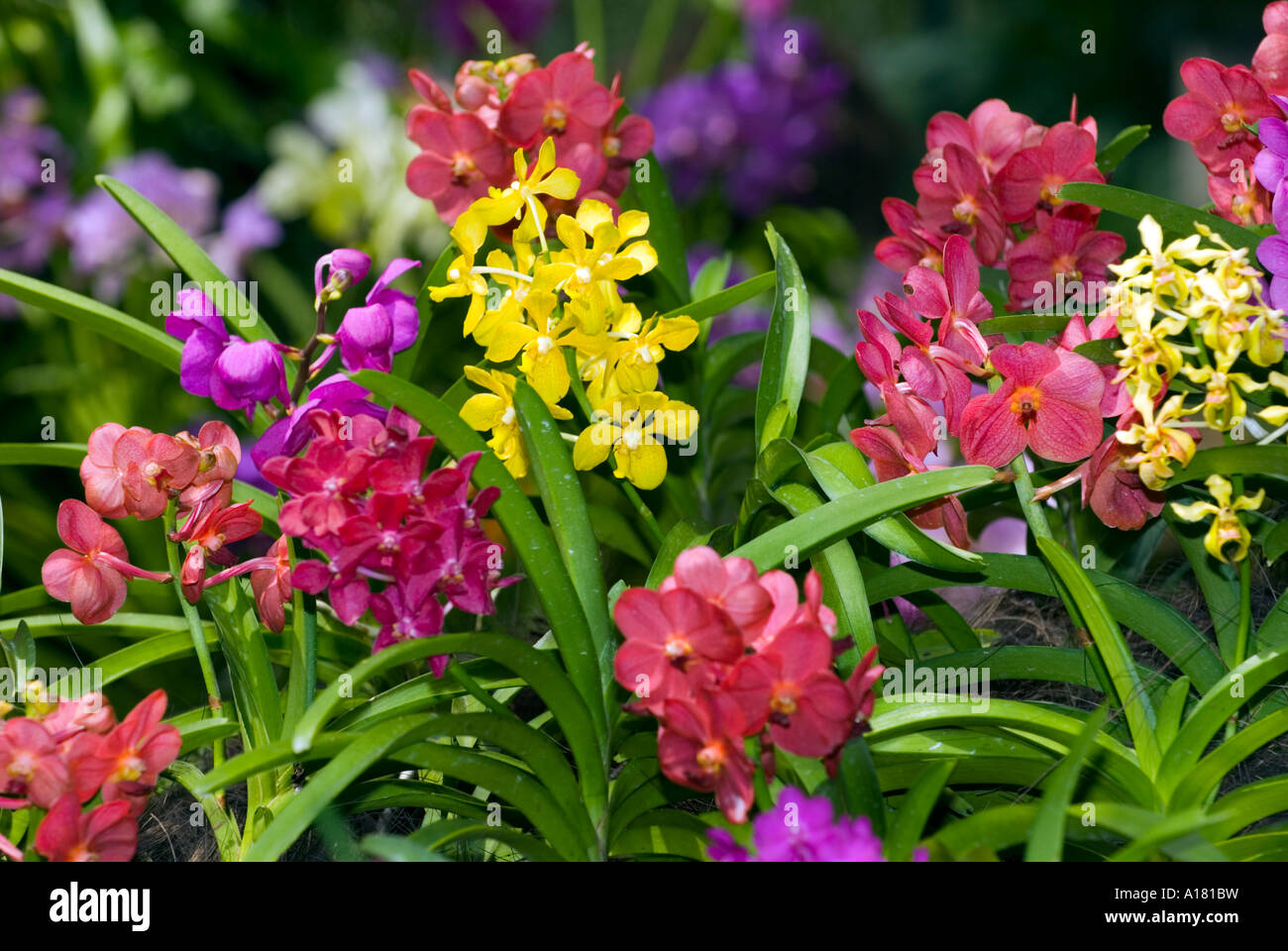 Stock Photo   Mixed ORCHIDS Plants Cattleya Orchid Orchidgarden Orchid  Garden Red Pink Yellow Green Blue