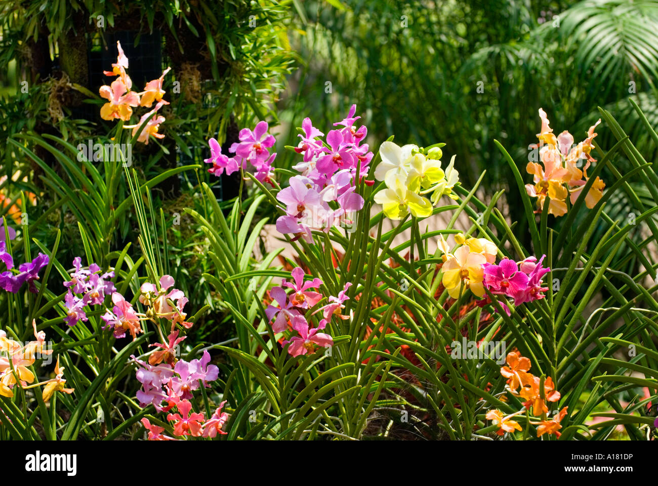 ... Mixed ORCHIDS Plants Cattleya Orchid Orchidgarden Orchid Garden Red  Pink Yellow Green Blue   Stock Photo