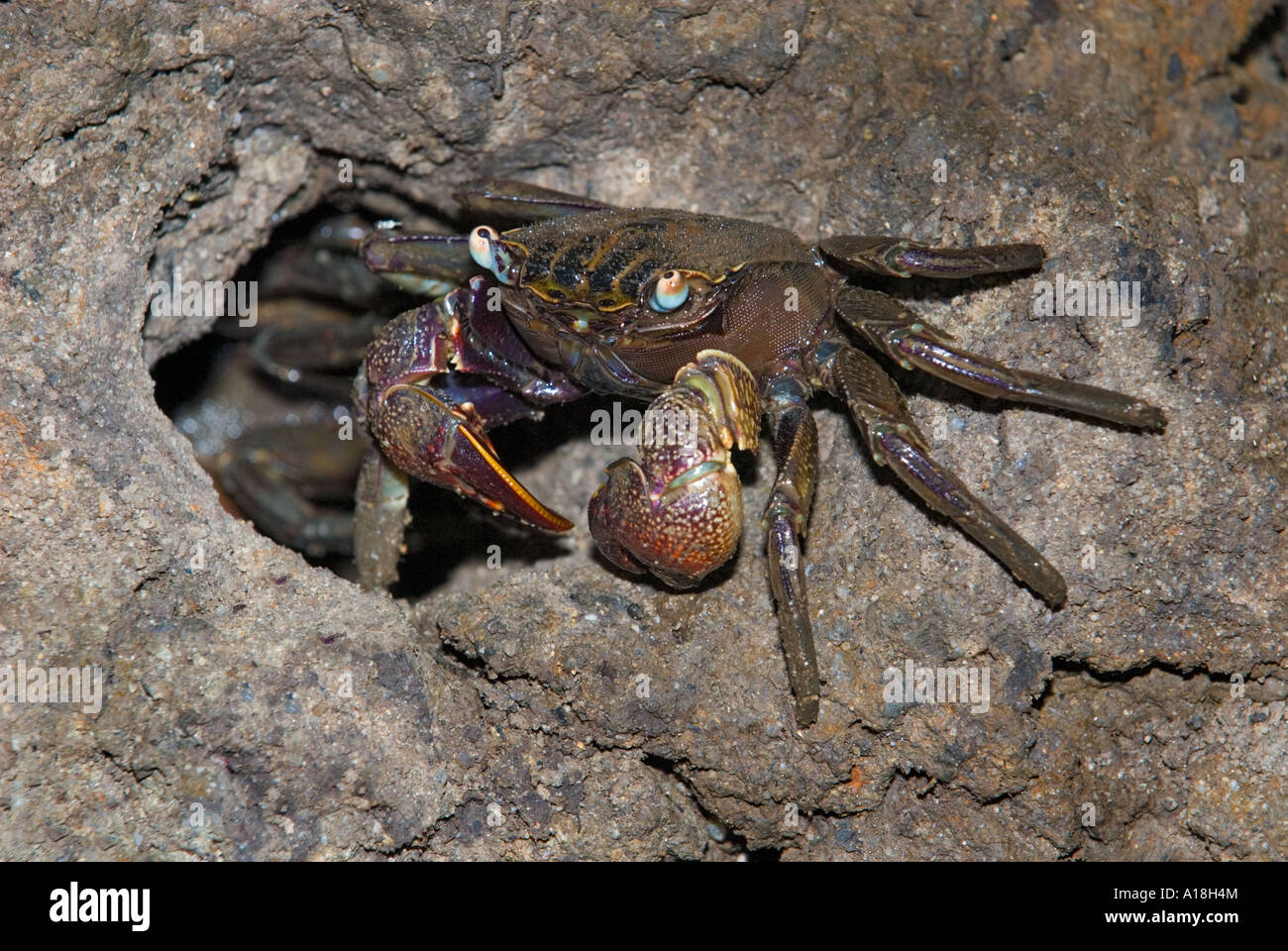 Crab In The Roots Mangrove Forest Marine Ecosystem Sungei ...