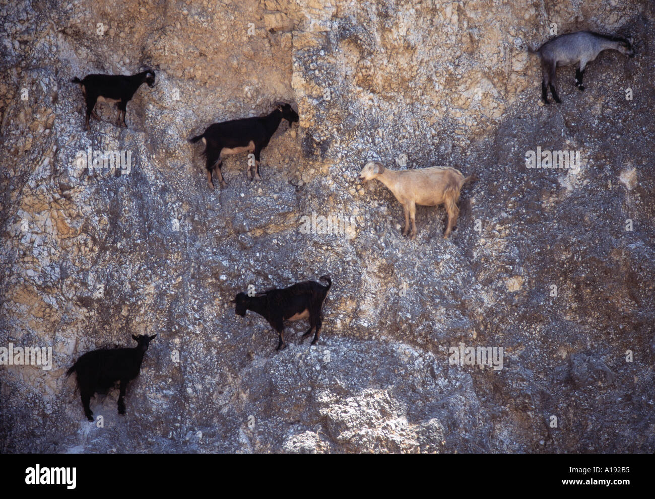 Goats On Cliff Face Epirus Region Central Mainland Greece Stock Photo Royalty Free Image
