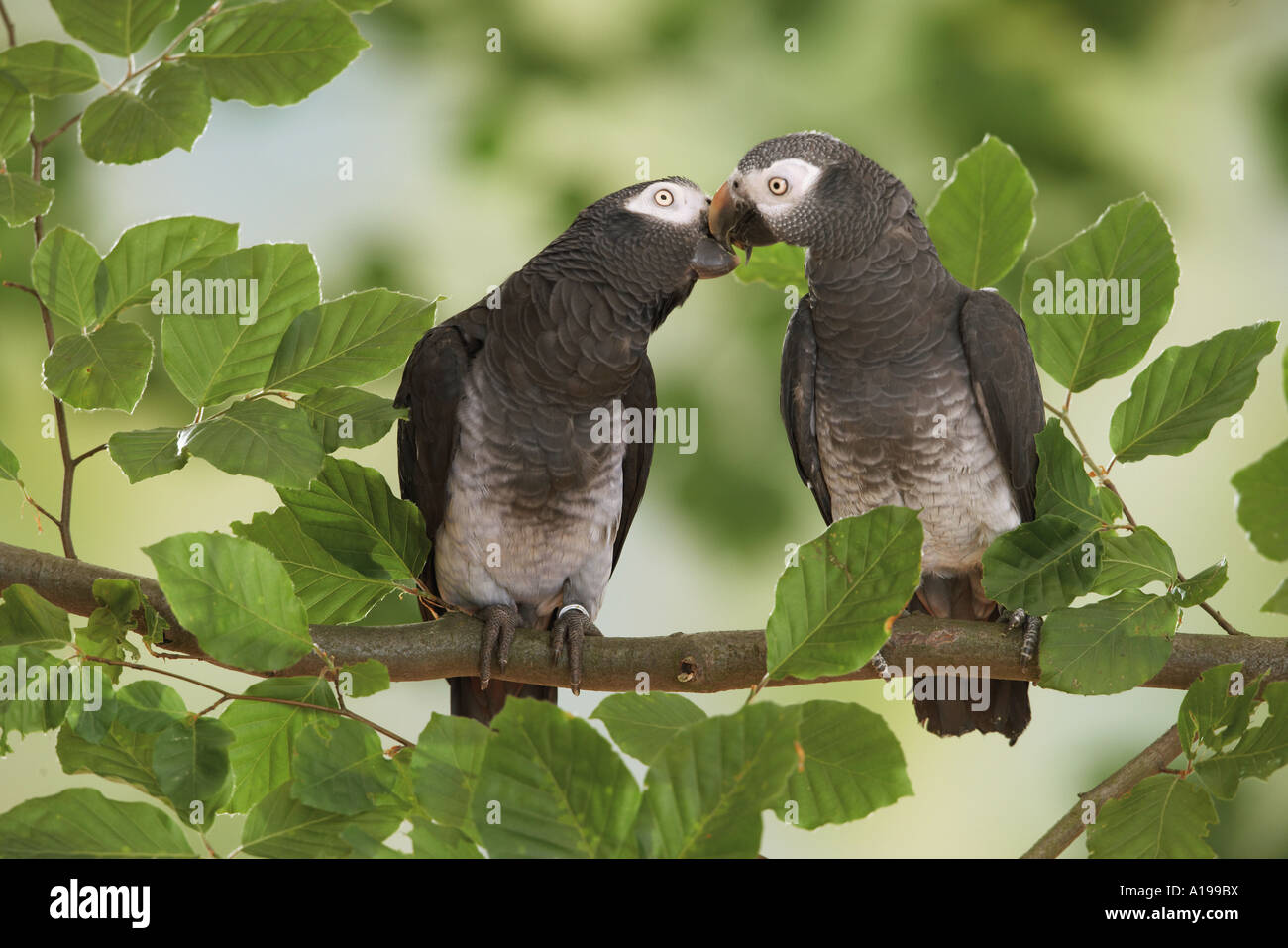 two timneh african grey parrots smooching psittacus
