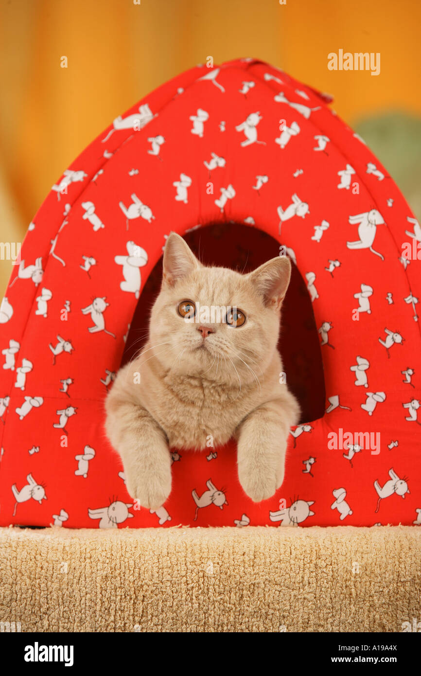 British Shorthair cat - lying in tent  sc 1 st  Alamy & British Shorthair cat - lying in tent Stock Photo Royalty Free ...