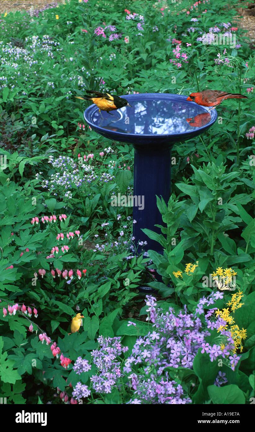 Blue Ceramic Bird Bath With Songbirds (Oriole And Cardinal) Bathing In  Spring Shade Garden, Missouri USA