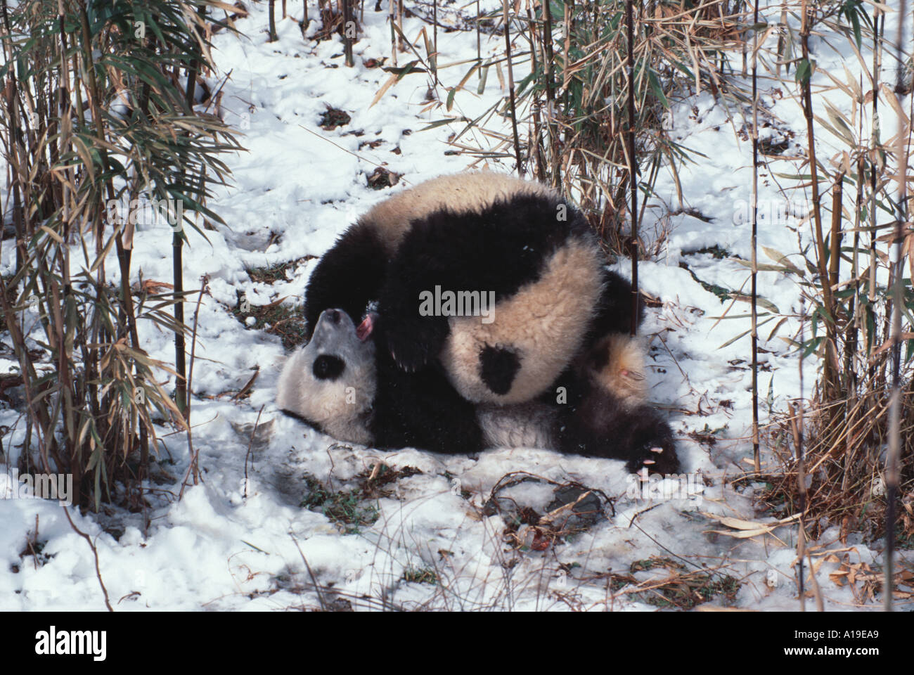 Panda cubs playing in snow - photo#9