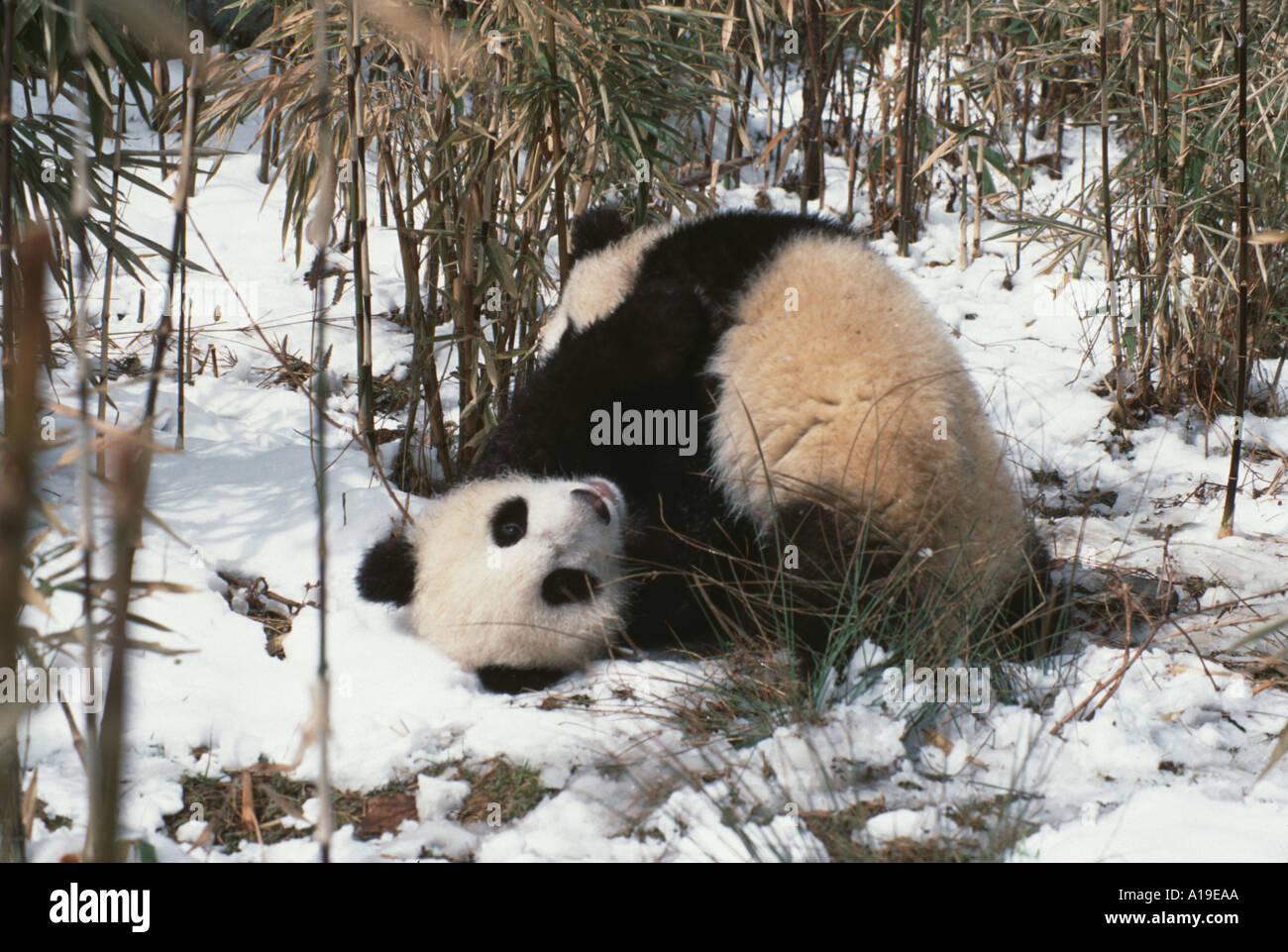 Giant panda  Smithsonians National Zoo