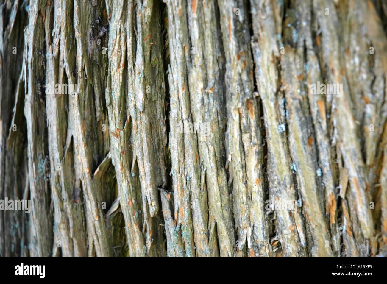 Deeply Furrowed Bark Of An Osage Orange Tree Stock Photo ...