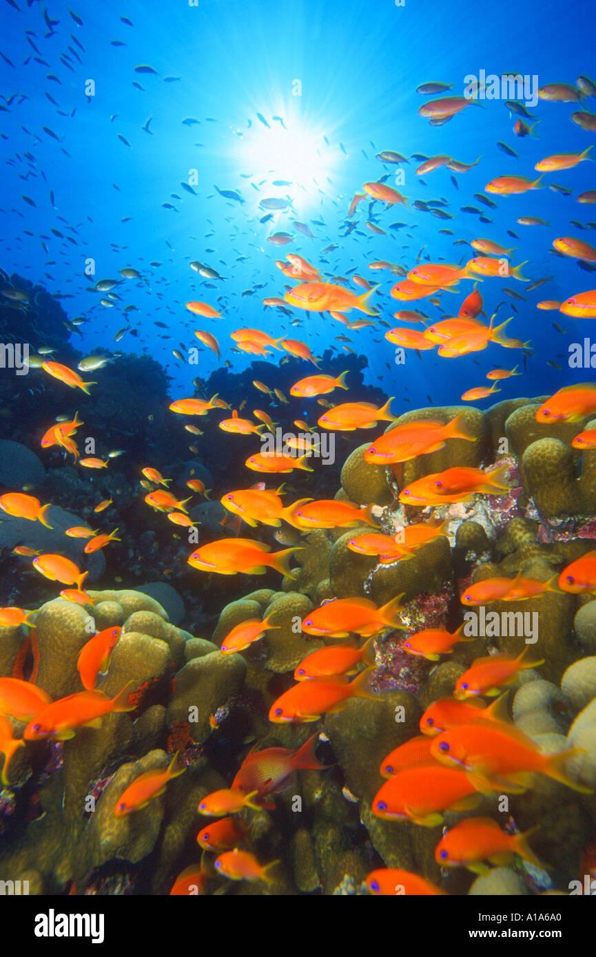 of fish anthias scuba diving ocean marine life fish