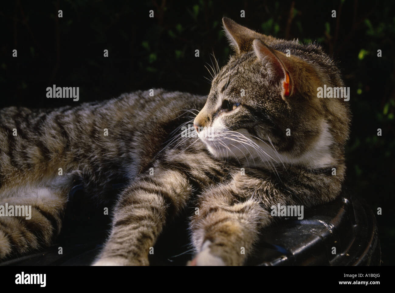 how to remove tick from cat