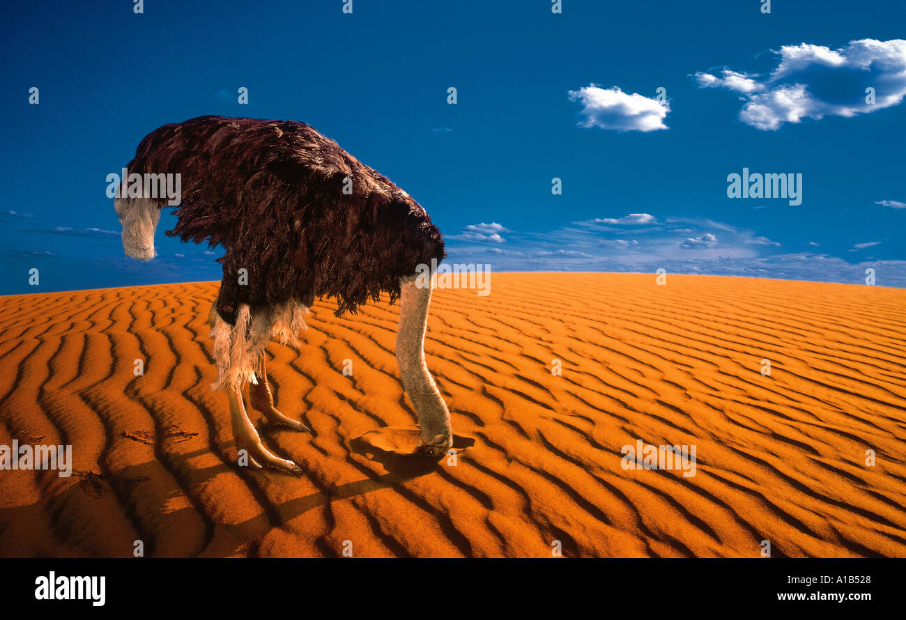 ostrich with head buried in sand